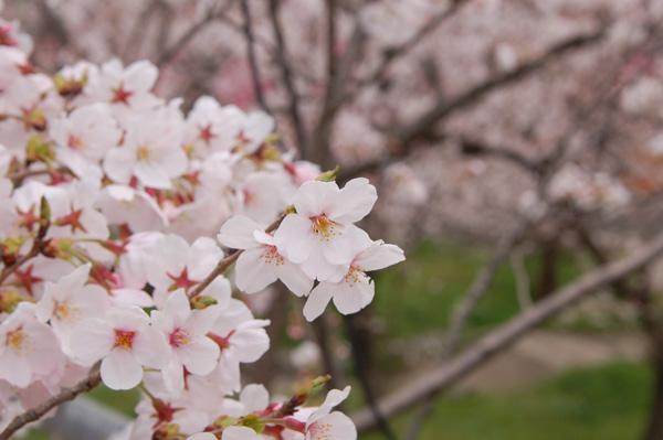 桜 勝盛公園
