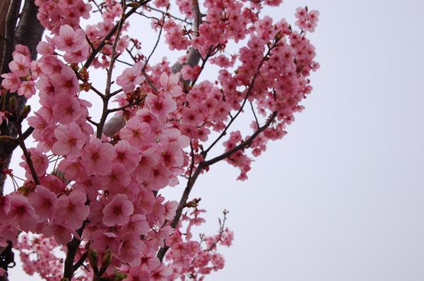 桜の名所 飯塚市